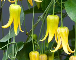 Dangling Bells of Clematis repens