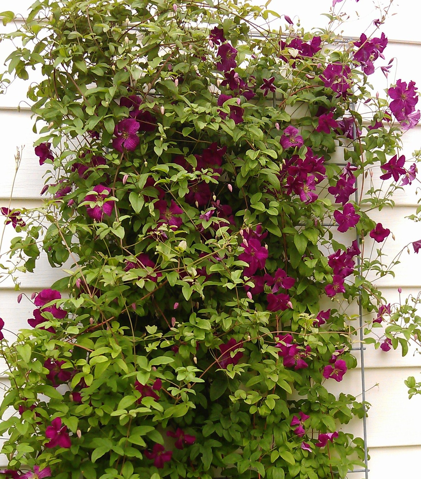 clematis pruning part 1 clematis in seattle. Black Bedroom Furniture Sets. Home Design Ideas