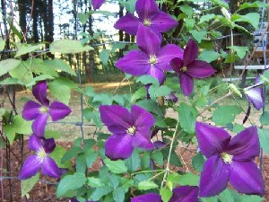 A new Jackmannii -- Jackmanii purpurea.  Debbie says it's VERY floriferous!