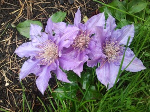 Clematis Bijou, a ground-cover clematis