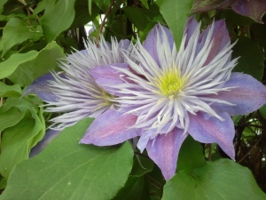 Clematis Crystal Fountain (aka Fairy Blue)