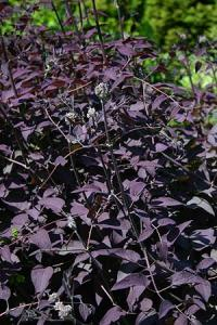 Clematis recta Serious Black