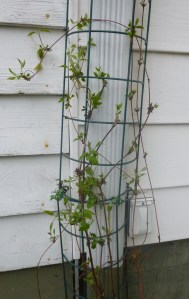 Clematis 'Fair Rosamond' After Pruning