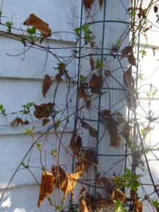 Clematis 'Fair Rosamond' Before(Pruning Group B)