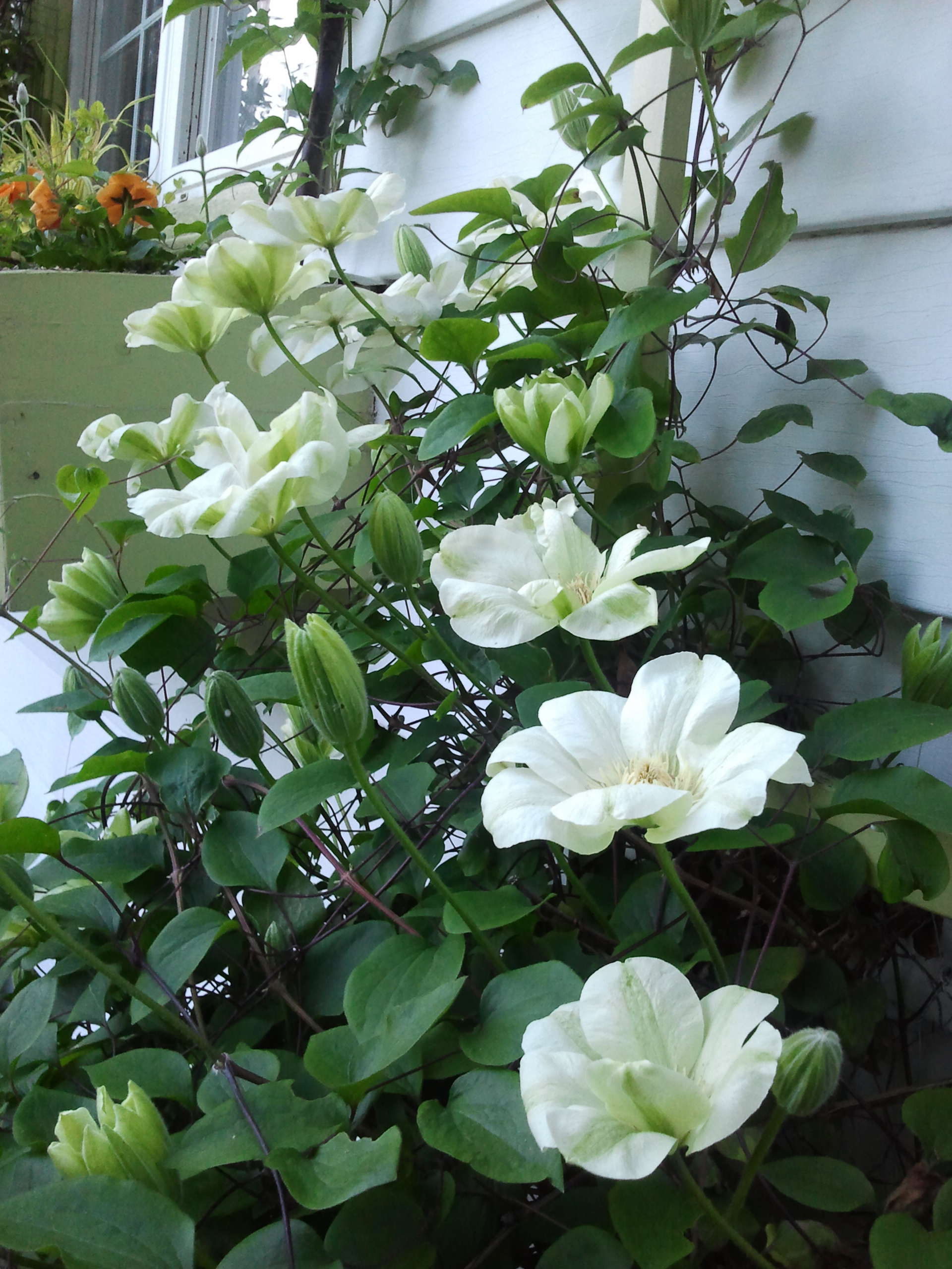 The Nitty Gritty Of Pruning Early Blooming Large Flowered Clematis