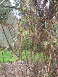 Clematis 'Betty Corning' Before Pruning