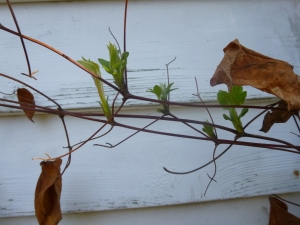 Clematis 'Fair Rosamond' before pruning, showing old leaves and leaf stems