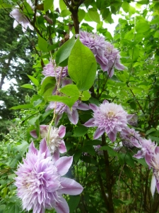Clematis Josephine high up in a tree (and seen from a deck)