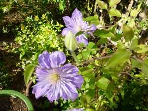 Clematis Crystal Fountain, aka Clematis Fairy Blue