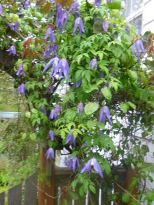Clematis Blue Dancer