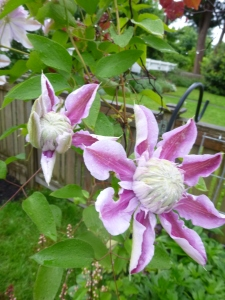Clematis Josephine, just opening