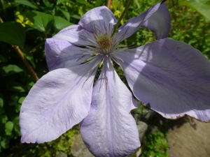 Lovely unknown clematis on Garden Tour