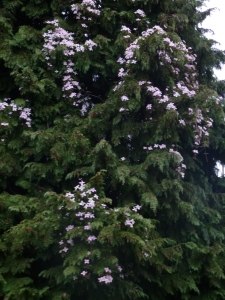 Clematis montana Vera -- 40' up a 90' Port Orford Cedar!