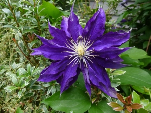 Clematis Hakuoonan, as seen in one of the tour gardens
