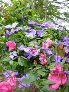 Clematis Will Baron with Rosa mutabilus