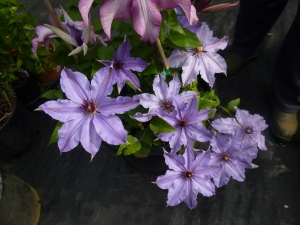Another Unknown Clematis