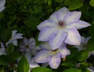 Clematis Ivan Olsson (one of Debbie's Favs)
