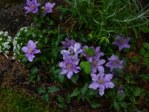 Clematis Bijou as a groundcover