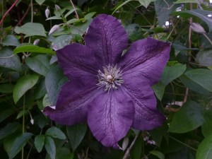 "First Blossom of Clematis Etoile Violette (must be 5"" wide!)"