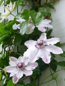 Clematis Fair Rosamond, winding down