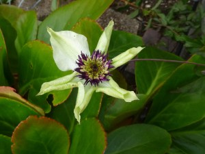 First ever bloom on my new Clematis florida
