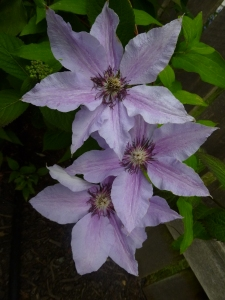 Clematis The First Lady (she'd look lovely with the dark purple  Clematis The President )