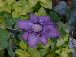 Clematis Vyvyan Pennell (first bloom ever after four years of wilt!)