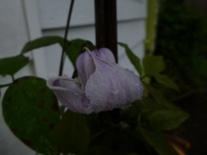 First bloom on my new Clematis Crispa