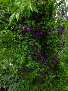 Clematis Etoile Violette and Clematis Betty Corning in my Plum Tree