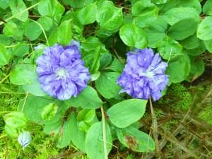 Clemitis Kiri Te Kanawa -- only planted about two months ago!