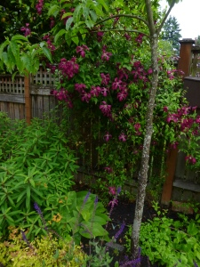 The floriferous and ever-beautiful Clematis Madame Julia Correvon