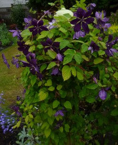 Dark and sultry Clematis Negrityanka