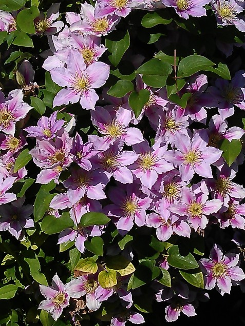 clematis princess diana clematis in seattle. Black Bedroom Furniture Sets. Home Design Ideas