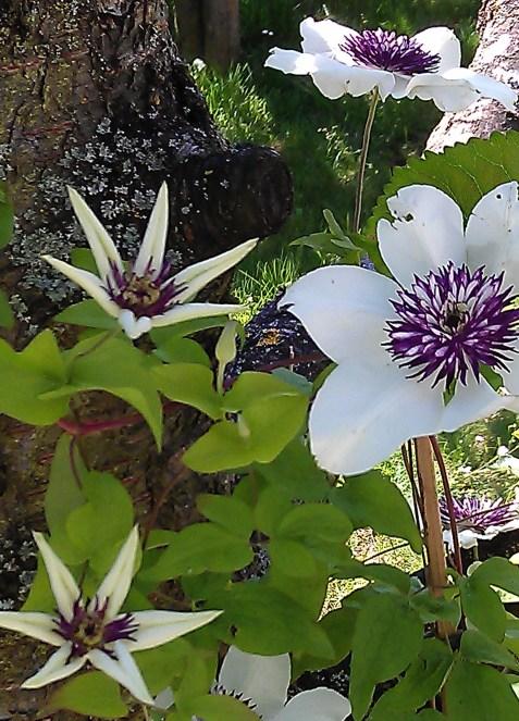 Clematis florida Sieboldii