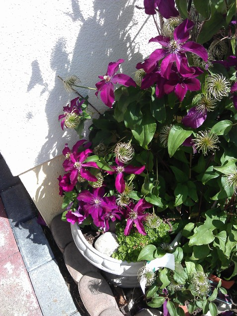 Lovely unknown clematis in a pot