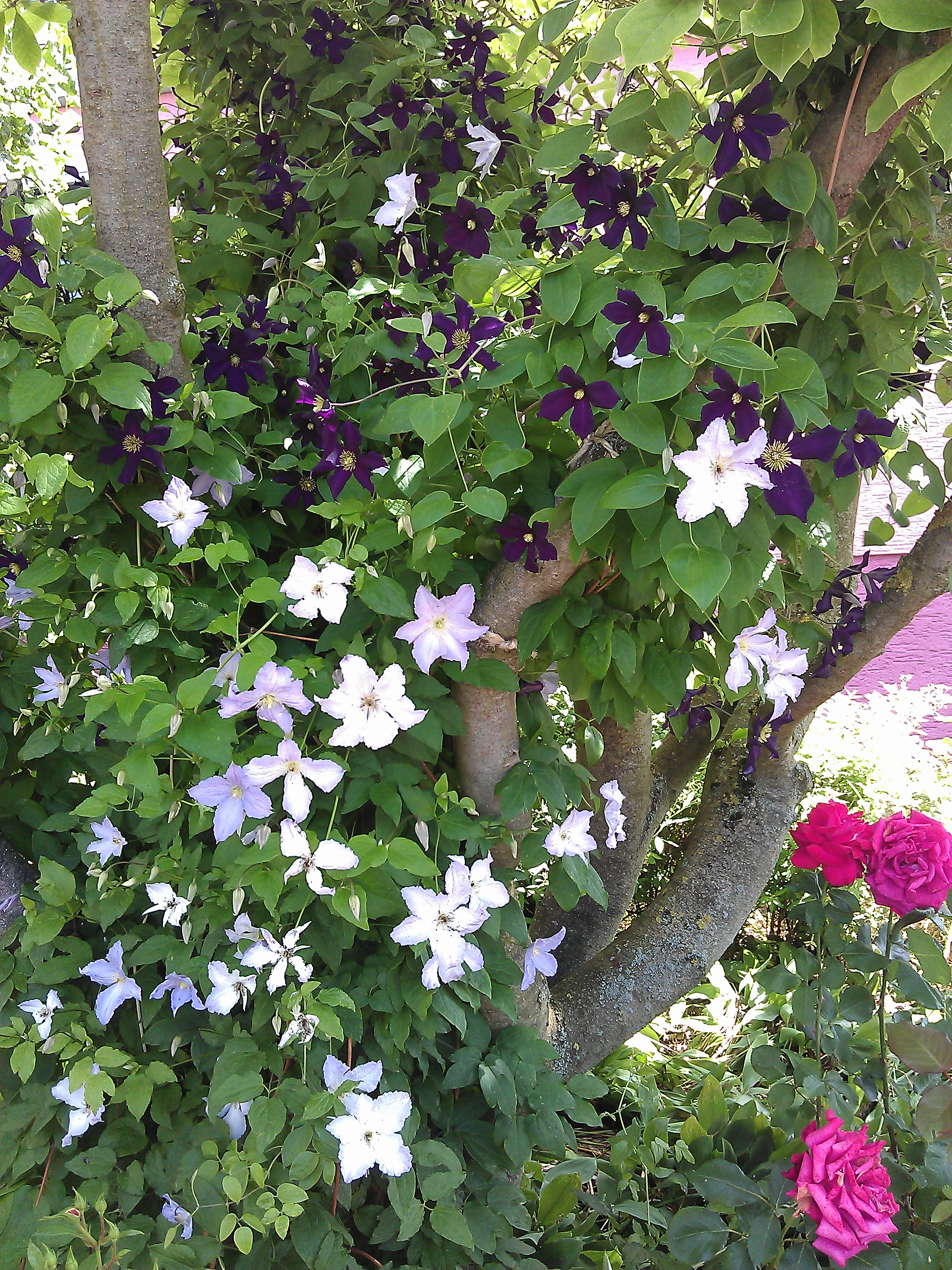 clematis fond memories clematis in seattle. Black Bedroom Furniture Sets. Home Design Ideas