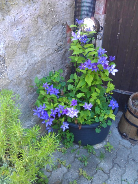 Lavendar clematis gracing a pot