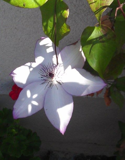 Clematis Utopia?  or is it Clematis Omoshiru?  or maybe Clematis Fond Memories?  Whichever it is, I want all three.