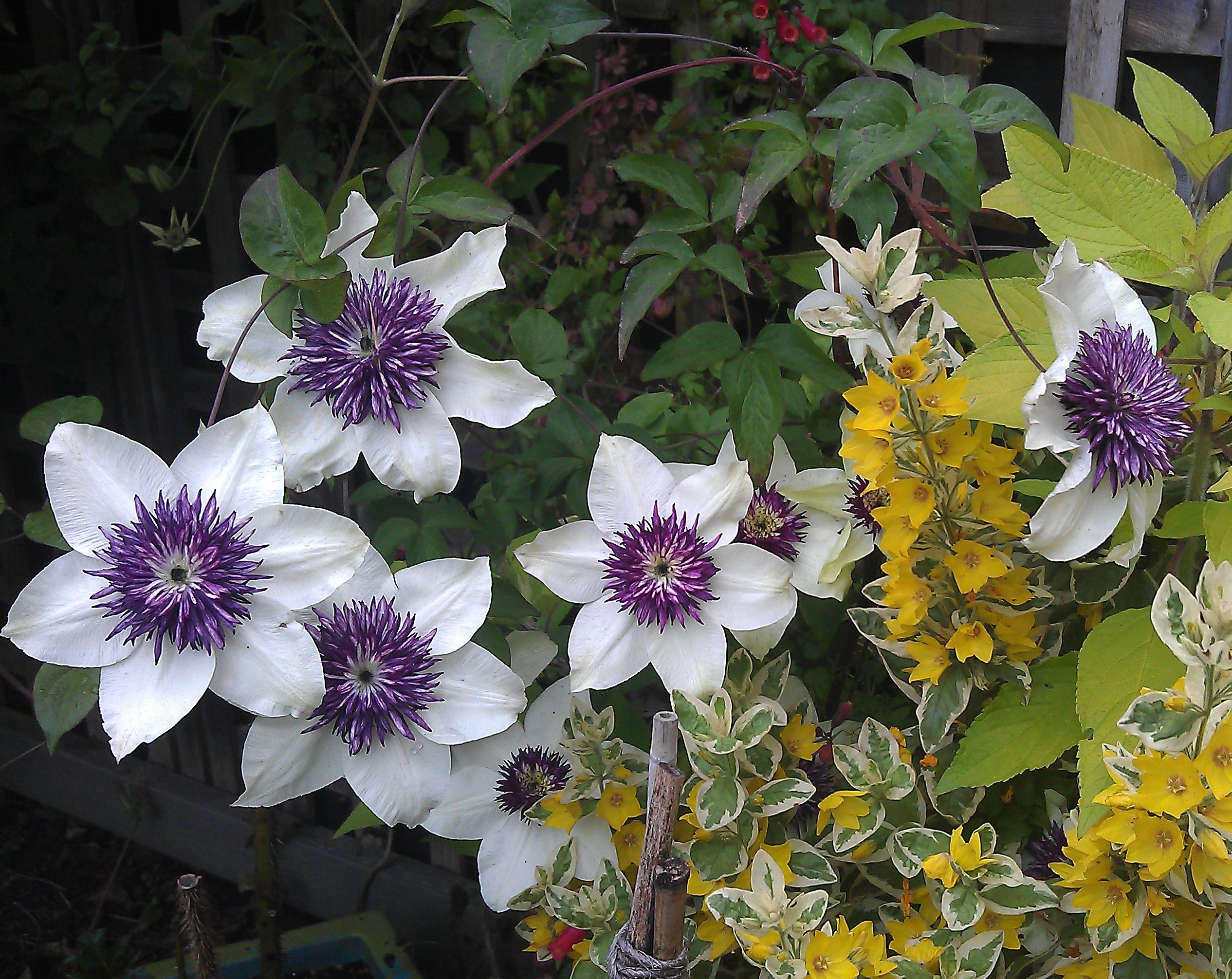 clematis florida sieboldii clematis in seattle. Black Bedroom Furniture Sets. Home Design Ideas