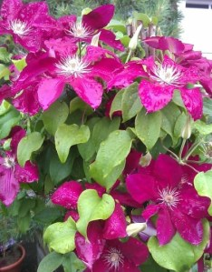 Unknown Red Clematis