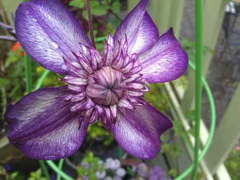 Closeup of Clematis Cassis