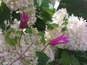 Clematis Duchess of Albany Growing through a Hydrangea