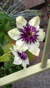 Clematis florida sieboldii (in my front garden)