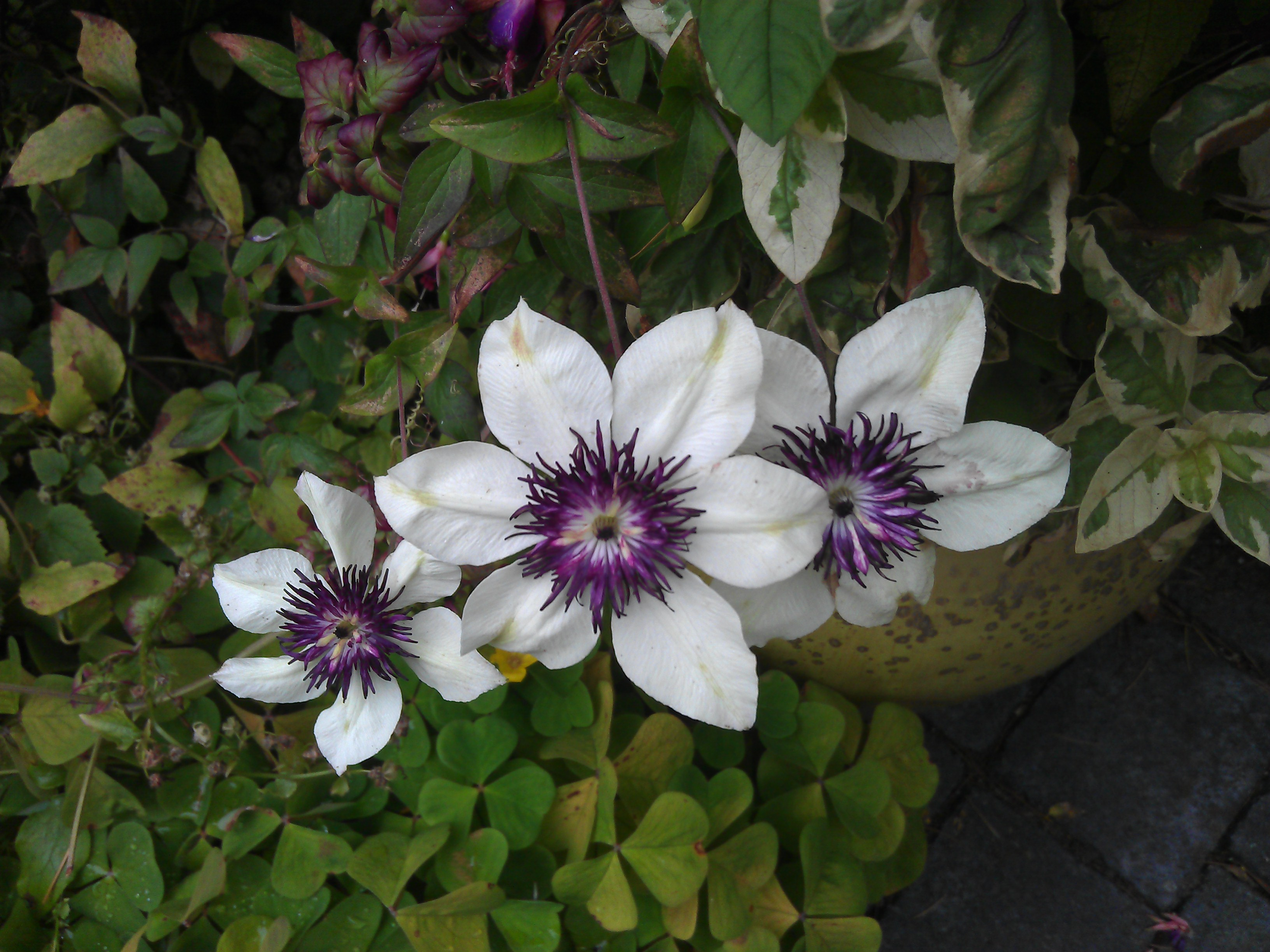clematis duchess of albany clematis in seattle. Black Bedroom Furniture Sets. Home Design Ideas