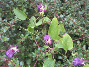 Clematis pitcheri hybrid on a Ceonothus.