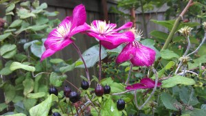 planting clematis clematis in seattle. Black Bedroom Furniture Sets. Home Design Ideas