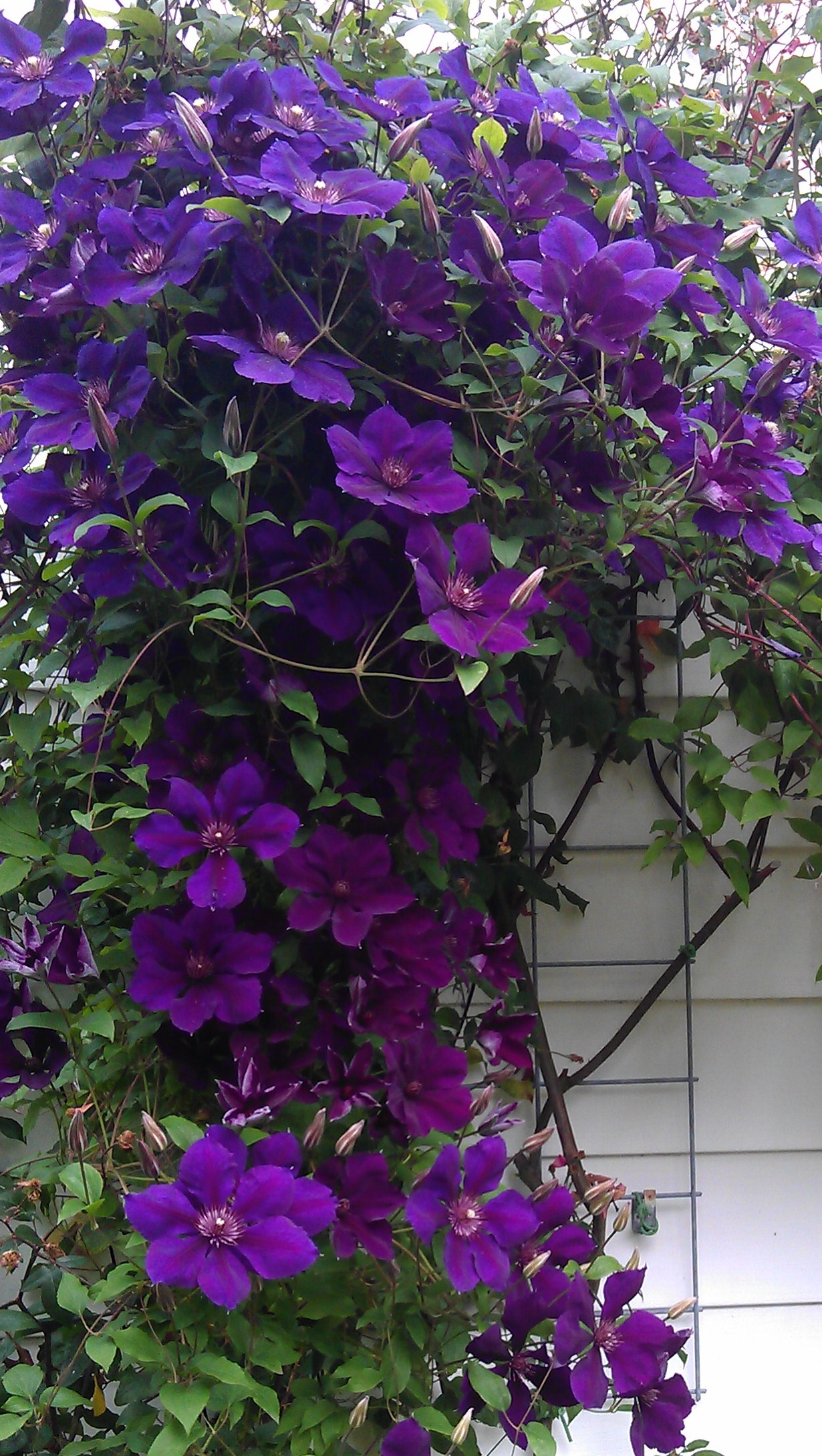 buying clematis clematis in seattle. Black Bedroom Furniture Sets. Home Design Ideas