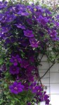 A Cascade of Clematis Gipsy Queen