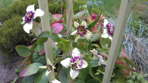 Clematis florida sieboldii gracing the front steps