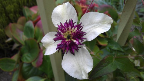 Close-Up of Clematis florida sieboldii in September